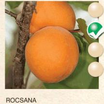 rocsana kajsija-sadnice-agrokalemplod_02