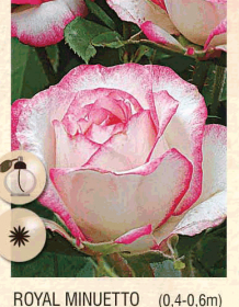 royal minuetto ruza-polijante-sadnice-agrokalemplod_21