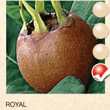 royal musmula-sadnice-agrokalemplod__2