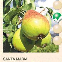 santa maria kruska-sadnice-agrokalemplod_05