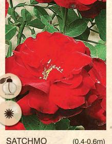 satchmo ruza-polijante-sadnice-agrokalemplod_43
