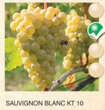 sauvignon blanc vinova-loza-sadnice-agrokalemplod_93