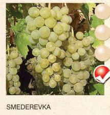 smederevka svinova-loza-sadnice-agrokalemplod_121