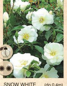 snow white ruza-mini-sadnice-agrokalemplod_21