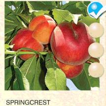 springcrest breskva-sadnice-agrokalemplod_14