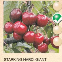 starking hardi giant tresnja-sadnice-agrokalemplod _17
