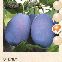 stenly sljiva-sadnice-agrokalemplod_13