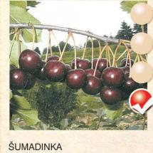 sumadinka visnja-sadnice-agrokalemplod_2