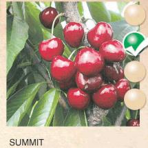 summit tresnja-sadnice-agrokalemplod _20