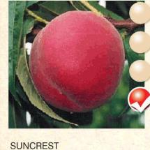 suncrest breskva-sadnice-agrokalemplod_13