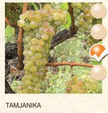 tamjanika vinova-loza-sadnice-agrokalemplod_123