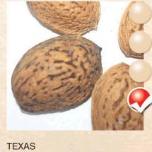 texas badem-sadnice-agrokalemplod_17
