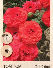 tom tom ruza-polijante-sadnice-agrokalemplod_35