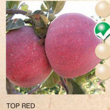top red jabuka-sadnice-agrokalemplod_07