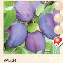 valor sljiva-sadnice-agrokalemplod_07