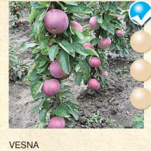 vesna jabuka-sadnice-agrokalemplod_05