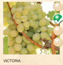 victoria vinova-loza-sadnice-agrokalemplod_197
