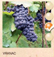 vranac vinova-loza-sadnice-agrokalemplod_191