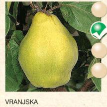 vranjska dunja-sadnice-agrokalemplod_2