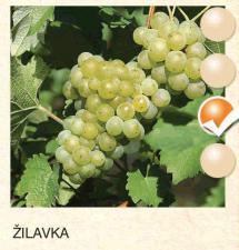 zilavka vinova-loza-sadnice-agrokalemplod_125
